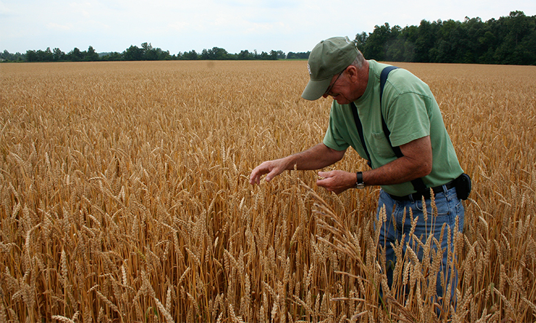 A photograph of a man checking wheat in a wheat field.