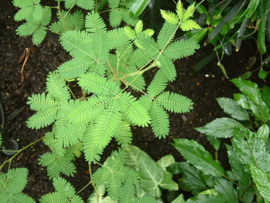 A photograph of the Mimosa pudica shows a plant with many tiny leaves.