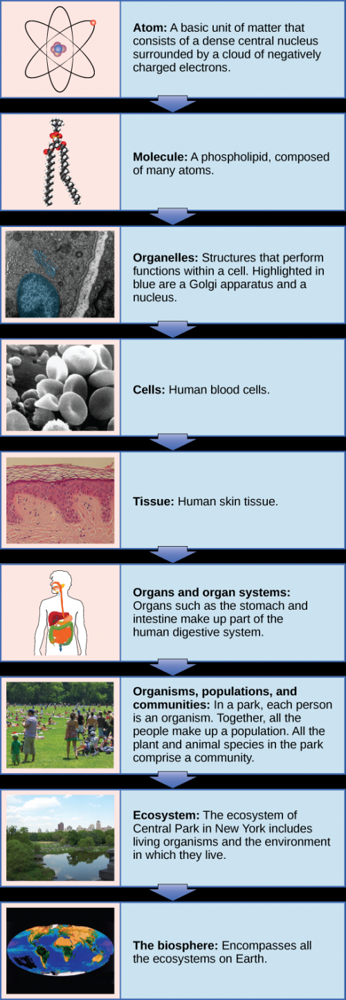 A flow chart shows the hierarchy of living organisms. From smallest to largest, this hierarchy includes: 1 An atom, with protons, neutrons and electrons. 2 Molecules such as the phospholipid shown, made up of atoms. 3 Organelles, such as Golgi apparatus and nuclei, that exist inside cells. 4 Cells, such as a red blood cell. 5 Tissues, such as human skin tissue. 6 Organs such as the stomach and intestine make up the human digestive system, an example of an organ system. 7 Organisms, populations and communities. In a park, each person is an organism. Together, all the people make up a population. All the plant and animal species in the park comprise a community. 8 Ecosystems: The ecosystem of Central Park in New York includes living organisms and the environment in which they live. 9 The biosphere: encompasses all the ecosystems on Earth.