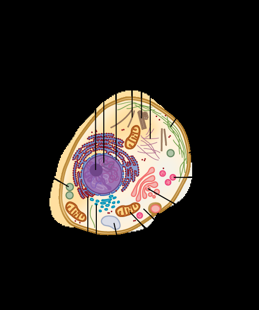 Part a: This illustration shows a typical eukaryotic cell, which is egg shaped. The fluid inside the cell is called the cytoplasm, and the cell is surrounded by a cell membrane. The nucleus takes up about one-half of the width of the cell. Inside the nucleus is the chromatin, which is comprised of DNA and associated proteins. A region of the chromatin is condensed into the nucleolus, a structure in which ribosomes are synthesized. The nucleus is encased in a nuclear envelope, which is perforated by protein-lined pores that allow entry of material into the nucleus. The nucleus is surrounded by the rough and smooth endoplasmic reticulum, or ER. The smooth ER is the site of lipid synthesis. The rough ER has embedded ribosomes that give it a bumpy appearance. It synthesizes membrane and secretory proteins. Besides the ER, many other organelles float inside the cytoplasm. These include the Golgi apparatus, which modifies proteins and lipids synthesized in the ER. The Golgi apparatus is made of layers of flat membranes. Mitochondria, which produce energy for the cell, have an outer membrane and a highly folded inner membrane. Other, smaller organelles include peroxisomes that metabolize waste, lysosomes that digest food, and vacuoles. Ribosomes, responsible for protein synthesis, also float freely in the cytoplasm and are depicted as small dots. The last cellular component shown is the cytoskeleton, which has four different types of components: microfilaments, intermediate filaments, microtubules, and centrosomes. Microfilaments are fibrous proteins that line the cell membrane and make up the cellular cortex. Intermediate filaments are fibrous proteins that hold organelles in place. Microtubules form the mitotic spindle and maintain cell shape. Centrosomes are made of two tubular structures at right angles to one another. They form the microtubule-organizing center.