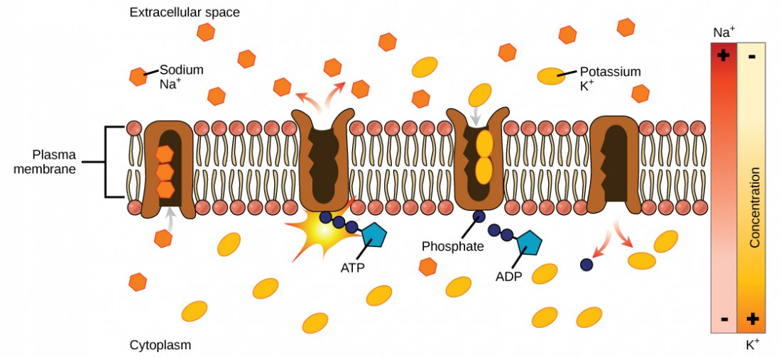 This illustration shows the sodium-potassium pump. Initially, the pump's opening faces the cytoplasm, where three sodium ions bind to it. The pump hydrolyzes ATP to ADP and, as a result, undergoes a conformational change. The sodium ions are released into the extracellular space. Two potassium ions from the extracellular space now bind the pump, which changes conformation again, releasing the potassium ions into the cytoplasm.