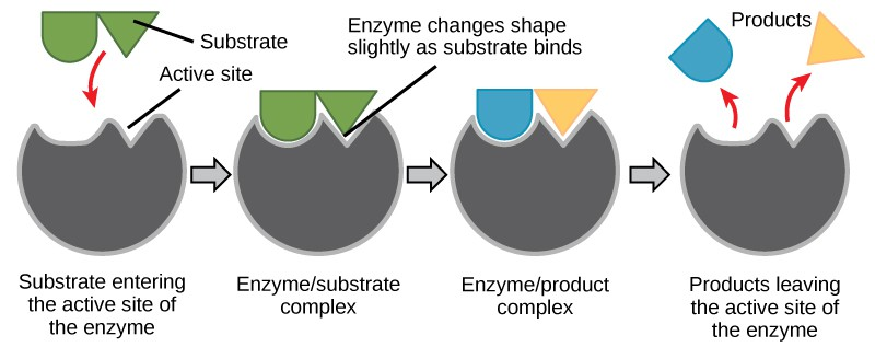 In this diagram, a substrate binds the active site of an enzyme and, in the process, both the shape of the enzyme and the shape of the substrate change. The substrate is converted to product, which leaves the active site.