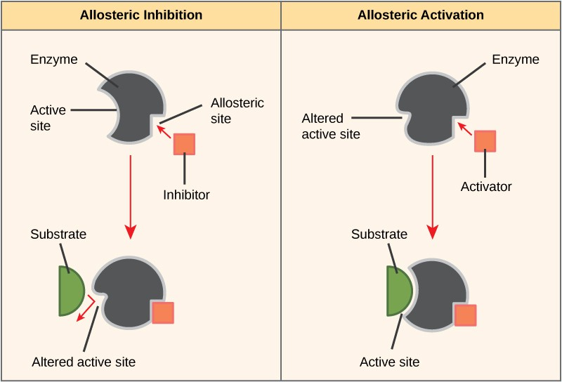 The left part of this diagram shows allosteric inhibition. The allosteric inhibitor binds to the enzyme at a site other than the active site. The shape of the active site is altered so that the enzyme can no longer bind to the substrate. The right part of this diagram shows allosteric activation. The allosteric activator binds to the enzyme at a site other than the active site. The shape of the active site is changed, allowing substrate to bind.