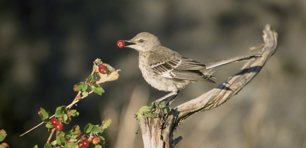 This photo shows a sage thrasher eating a berry.