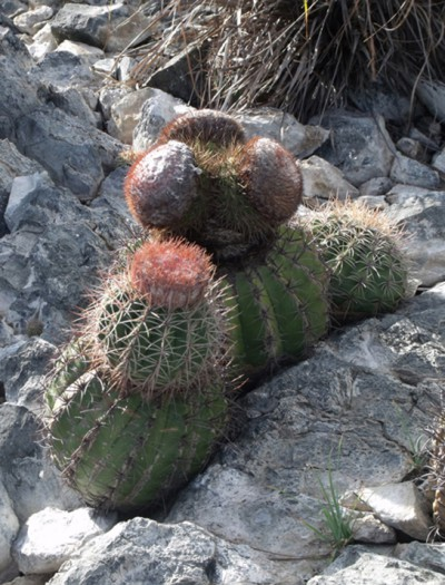 This photo shows a cactus.
