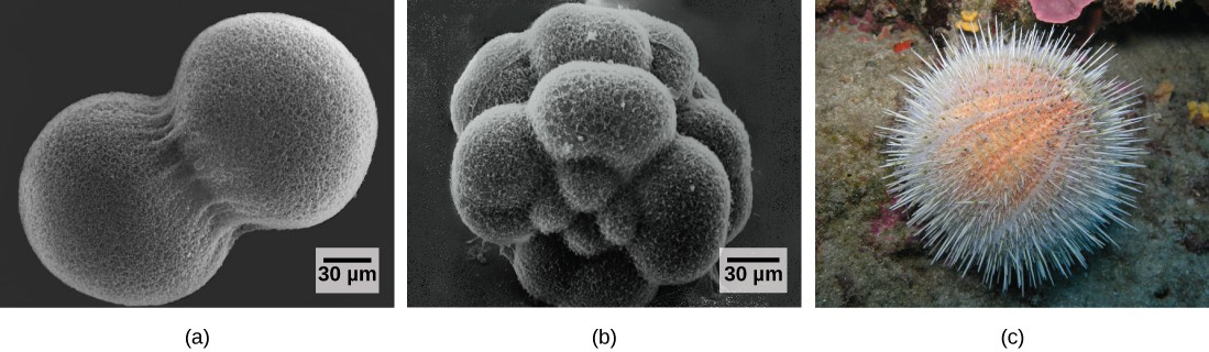 Image A shows two conjoined cells forming a dumbbell shape; the fertilization envelope has been removed so that the mesh-like outer layer can be seen. Image B shows the sea urchin embryo when it has divided into 16 conjoined cells; the overall shape is rounder than in image A. Image C shows a