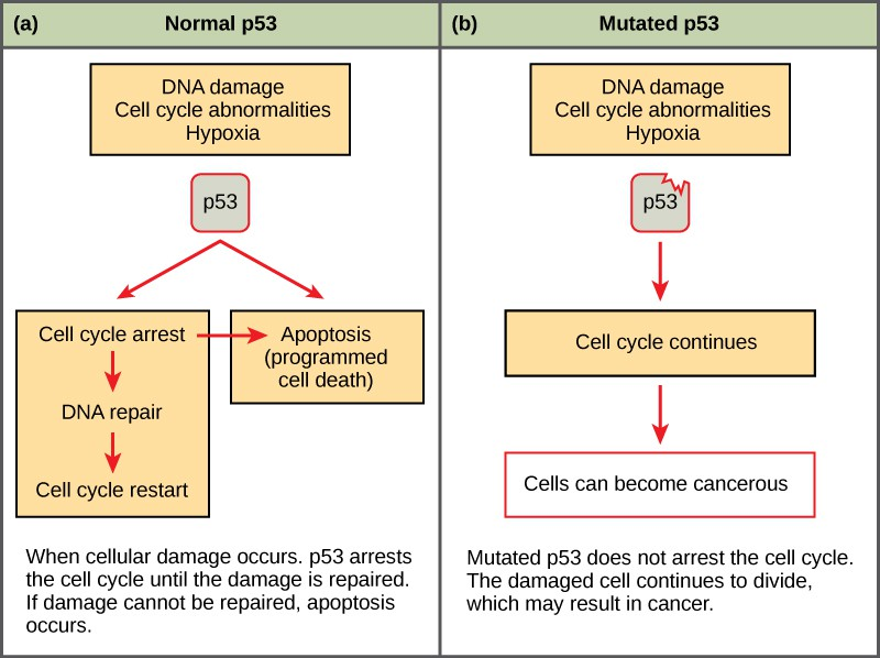 This illustration shows cell cycle regulation by p53. The p53 protein normally arrests the cell cycle in response to DNA damage, cell cycle abnormalities, or hypoxia. Once the damage is repaired, the cell cycle restarts. If the damage cannot be repaired, apoptosis (programmed cell death) occurs. Mutated p53 does not arrest the cell cycle in response to cellular damage. As a result, the cell cycle continues and the cell may become cancerous.
