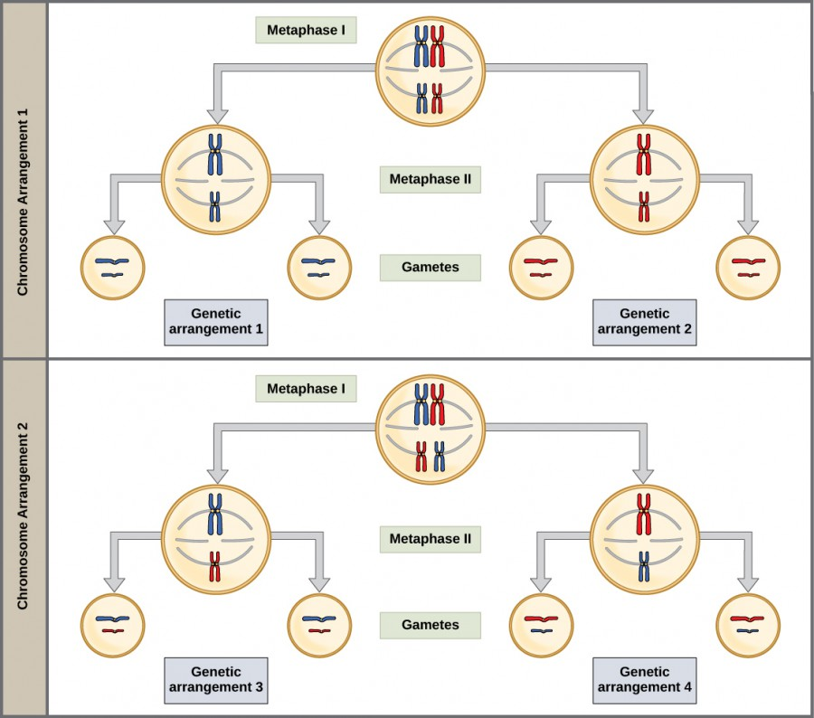 This illustration shows that, in a cell with a set of two chromosomes, four possible arrangements of chromosomes can give rise to eight different kinds of gamete. These are the eight possible arrangements of chromosomes that can occur during meiosis of two chromosomes.