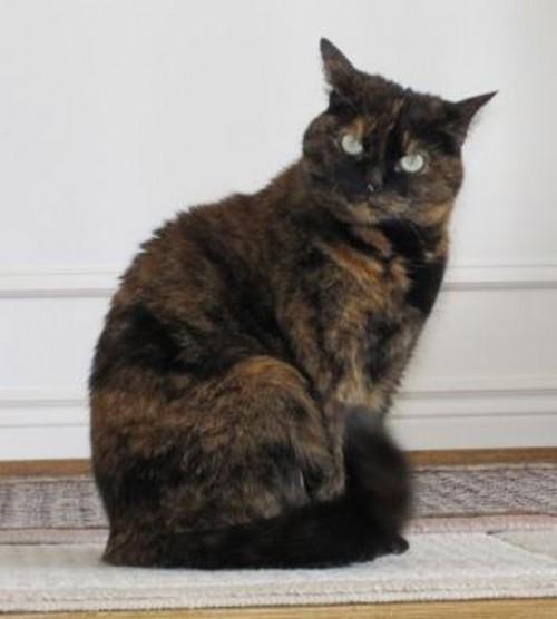 Photo of a tortoiseshell cat.