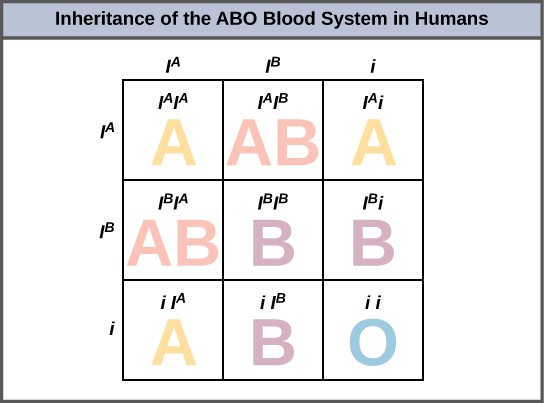 A Punnett square showing the possible genotype and phenotypes of the ABO blood types in humans.