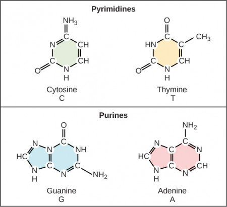 Illustration shows structure of a nucleotide, which is made up of a deoxyribose sugar with a nitrogenous base attached at the 1' position and a phosphate group attached at the 5' position. There are two kinds of nitrogenous bases: pyrimidines, which have one six-membered ring, and purines, which have a six-membered ring fused to a five-membered ring. Cytosine and thymine are pyrimidines, and adenine and guanine are purines.