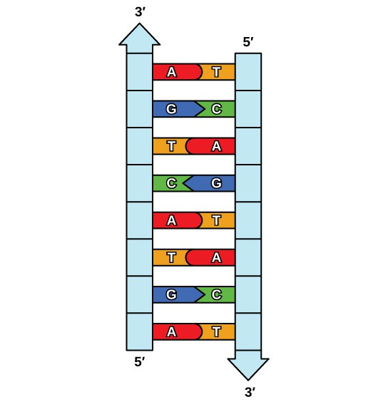 Figure shows the ladder-like structure of DNA, with complementary bases making up the rungs of the ladder.