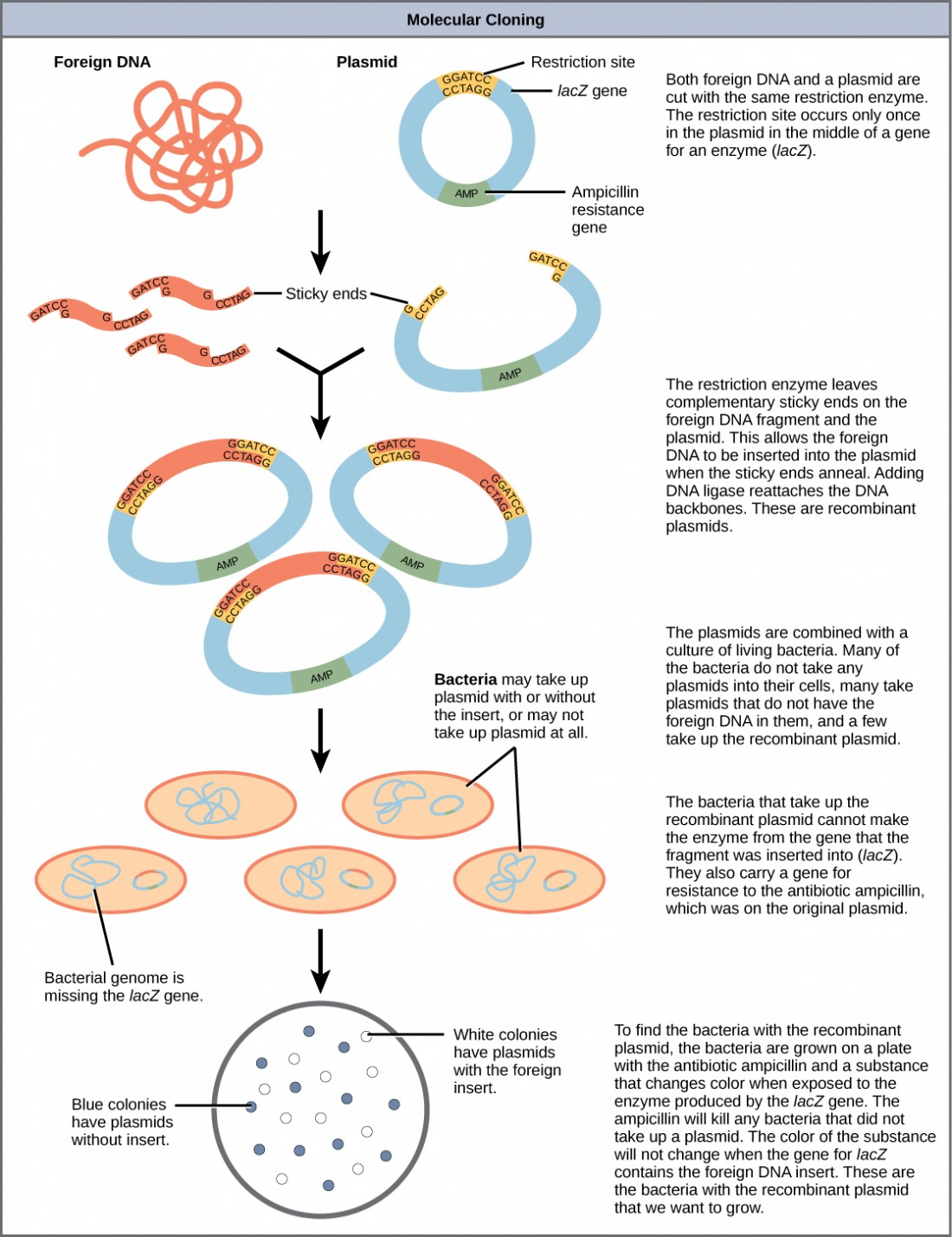 An illustration showing the steps in creating recombinant DNA plasmids, inserting them into bacteria, and then selecting only the bacteria that have successfully taken up the recombinant plasmid. The steps are as follows: both foreign DNA and a plasmid are cut with the same restriction enzyme. The restriction site occurs only once in the plasmid in the middle of a gene for an enzyme (lacZ). The restriction enzyme leaves complementary sticky ends on the foreign DNA fragment and the plasmid. This allows the foreign DNA to be inserted into the plasmid when the sticky ends anneal. Adding DNA ligase reattaches the DNA backbones. These are recombinant plasmids. The plasmids are combined with a culture of living bacteria. Many of the bacteria do not take any plasmids into their cells, many take plasmids that do not have the foreign DNA in them, and a few take up the recombinant plasmid. The bacteria that take up the recombinant plasmid cannot make the enzyme from the gene that the fragment was inserted into (lacZ). They also carry a gene for resistance to the antibiotic ampicillin, which was on the original plasmid. To find the bacteria with the recombinant plasmid, the bacteria are grown on a plate with the antibiotic ampicillin and a substance that changes color when exposed to the enzyme produced by the lacZ gene. The ampicillin will kill any bacteria that did not take up a plasmid. The color of the substance will not change when the gene for lacZ contains the foreign DNA insert. These are the bacteria with the recombinant plasmid that we want to grow.