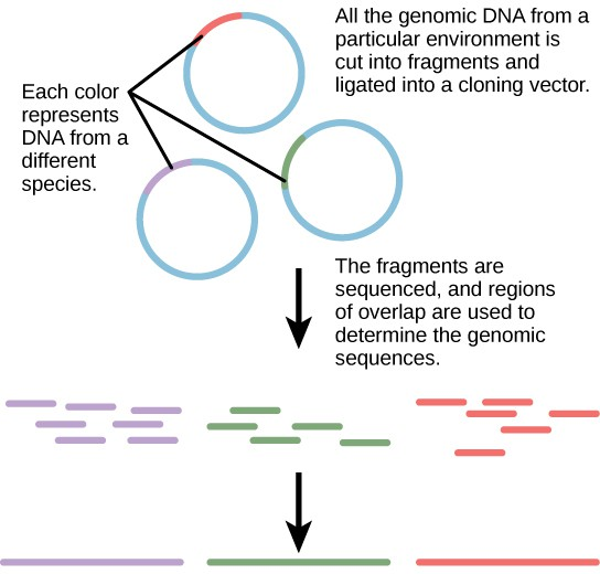 The diagram shows 3 individual rings representing DNA, with a small portion of each in a contrasting color. The small portions represent DNA from a different species. The 3 rings have the caption