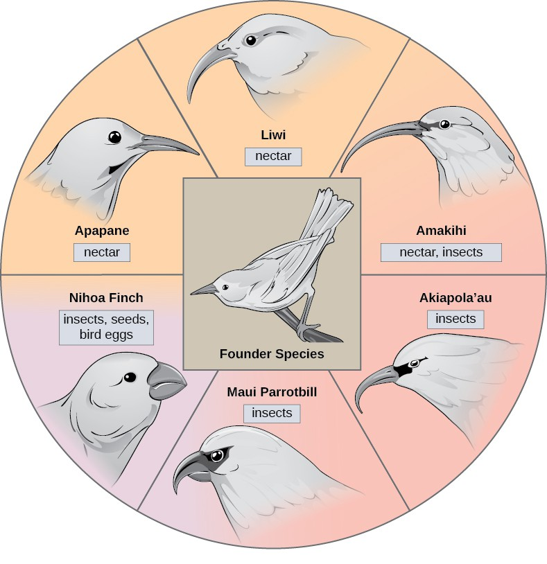 The illustration shows a wheel, with the founder species that gave rise to various honeycreeper birds at the hub. Between spokes of the wheel are six modern honeycreeper species. Five of these, the 'Apapane, Liwi, 'Amakihi, 'Akiapola'au and Maui Parrotbill, eat insects and/or nectar and have long, think beaks. The sixth bird, the Nihoa Finch, eats insects, seeds, and bird eggs, and has a short, fat beak.