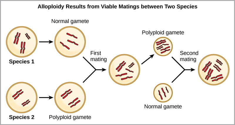 Alloploidy results from viable matings between two species with different numbers of chromosomes. In the example shown, species one has three sets of chromosomes, and species two has two sets of chromosomes. When a normal gamete from species one (with three chromosomes) fuses with a polyploid gamete from species two (with two sets of chromosomes), a zygote with seven chromosomes results. An offspring from this mating produces a polyploid gamete, with seven chromosomes. If this polyploid gamete fuses with a normal gamete from species one, which has three chromosomes, the resulting offspring will have five viable sets of chromosomes.