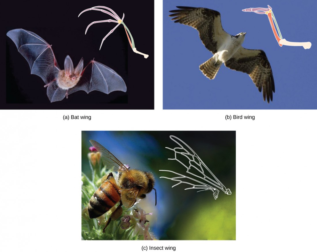 Part A shows a bat wing, part B shows a bat wing, and part C shows a bee wing. All are similar in overall shape. However, the bird wing and bat wing are both made from homologous bones that are similar in appearance. The bee wing is made of a thin, membranous material rather than bone.