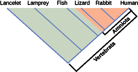 Illustration shows the V-shaped Vertebrata clade, which includes lancelets, lamprey, fish, lizards, rabbits and humans. Lancelets are at the left tip of the V, and humans are at the right tip. Four more lines are drawn parallel to the lancelet line; each of these lines starts further up the right arm of the V than the next. At the end of each line, from left to right, are lampreys, fish, lizards, and rabbits. Lizards, rabbits and humans, which form a small V nested in the upper right corner of the Vertebrata V, are in the clade Amniota.