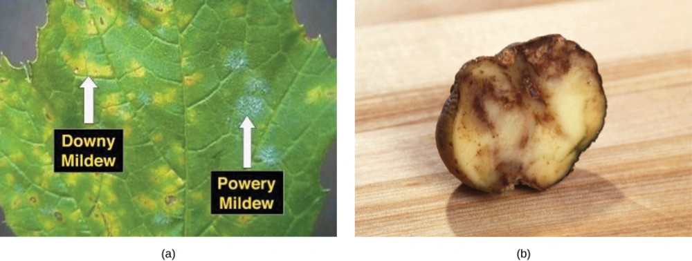 Part a shows a leaf infected with downy and powdery mildews. Where the leaf is infected with downy mildew, it is yellow instead of green. Powdery mildew appears as a white fuzz on the leaf. Part b shows a slice of potato that has browned and appears rotten.