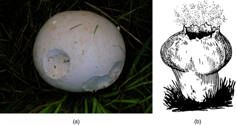Part a is a photo of a puffball mushroom, which is round and white. Part b is an illustration of a puffball mushroom releasing spores through its exploded top.