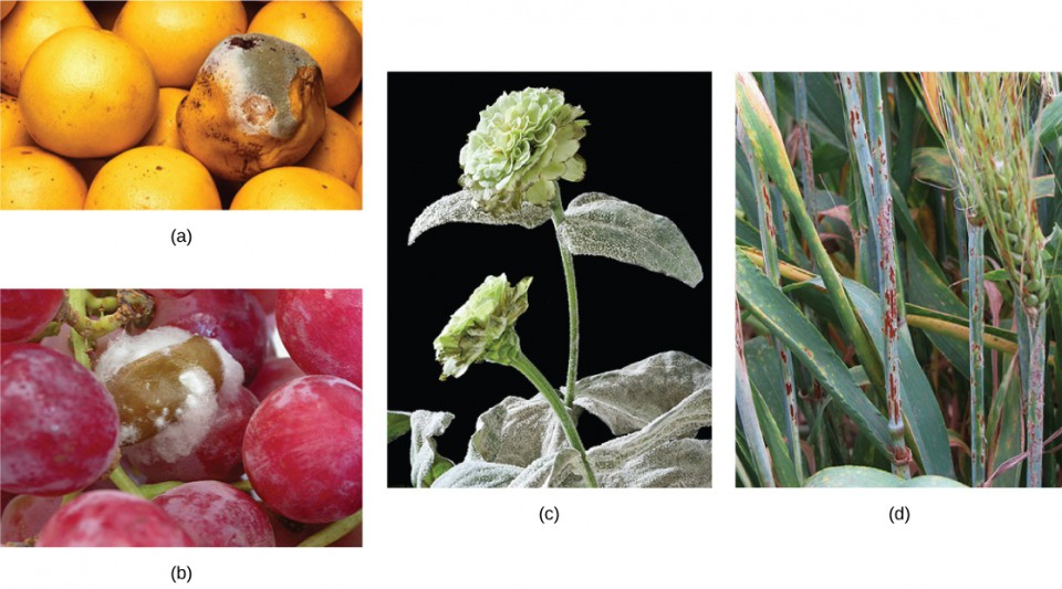 Parts a, b, c, and d show fungal parasites on grapefruit, grapes, a zinnia, and a sheaf of barley, respectively.