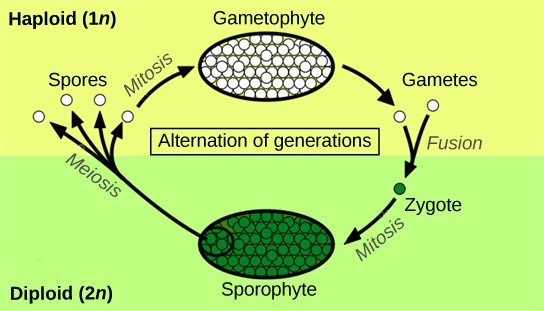 The plant life cycle has haploid and diploid stages. The cycle begins when haploid (1n) spores undergo mitosis to form a multicellular gametophyte. The gametophyte produces gametes, two of which fuse to form a diploid zygote. The diploid (2n) zygote undergoes mitosis to form a multicellular sporophyte. Meiosis of cells in the sporophyte produces 1n spores, completing the cycle.