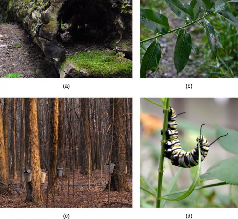 Photo A shows a hollow log lying on the ground, with low moss growing on it. Photo B shows a green stem with shiny, slightly wet, deep green leaves. Photo C shows leafless trees with pails attached to the trunks of the larger trees. Photo D shows a Monarch caterpillar eating a long, thin leaf.