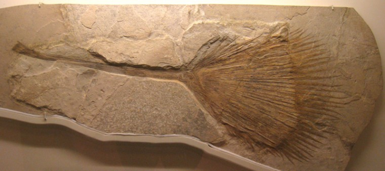 Photo shows a slab of rock: a fossil of a palm leaf. The leaf has a long narrow portion and a long fan of thin leaves at the end.