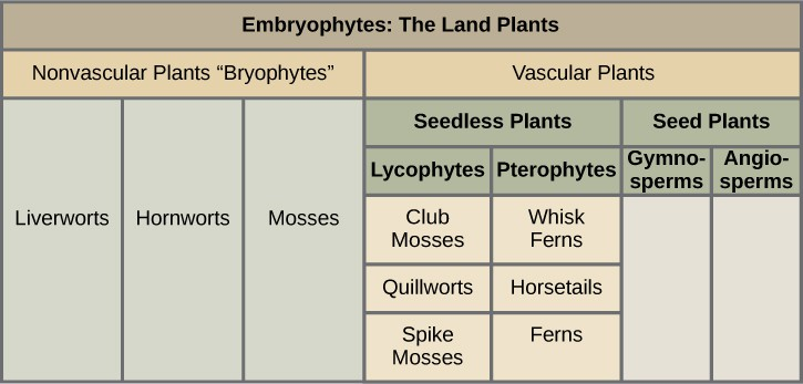 A table shows the division of plants. They are split into two main groups: vascular and non-vascular. The nonvascular bryophytes include liverworts, hornworts, and mosses. The vascular category has more subcategories. First it is broken into seedless plants and seed plants. Seedless plants have two categories: lycophytes, which include club mosses, quillworts, and spike mosses; and pterophytes, which include whisk ferns, horsetails, and ferns. The seed plants category has two subparts: gymnosperms and angiosperms.