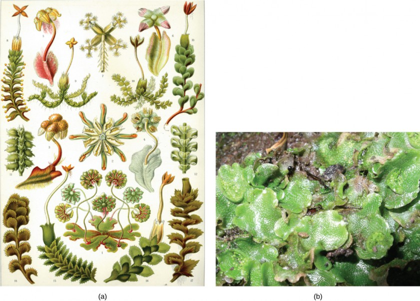 Illustration (a) shows a variety of liverworts, which all share a branched, leafy structure. Photo (b) shows a liverwort with lettuce-like leaves.