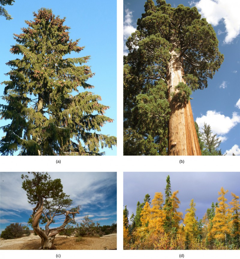 Photo A shows a tall spruce tree covered in pine cones. Photo B shows a sequoia with a tall, broad trunk and branches starting high up the trunk. Photo C shows a juniper tree with a gnarled trunk. Part D shows a forest of tamarack with yellow needles.
