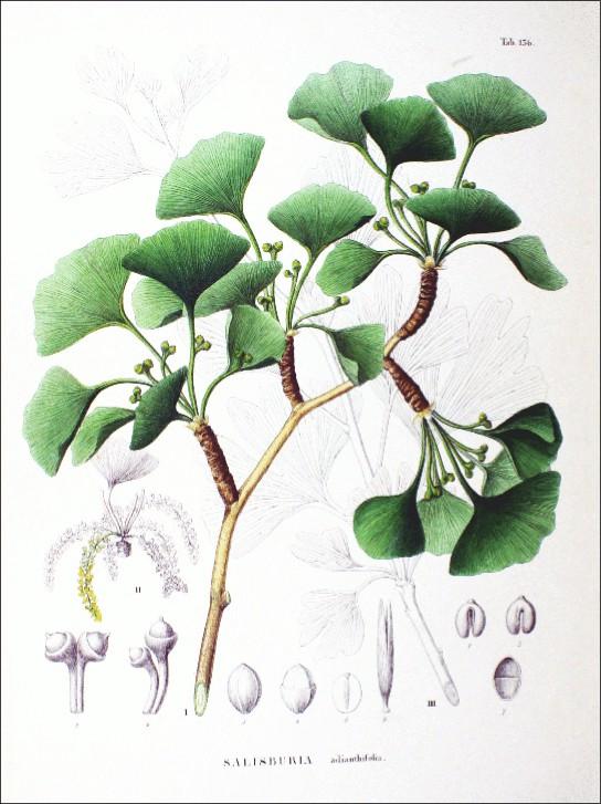Illustration shows the green, fan-shaped leaves of Ginkgo biloba.