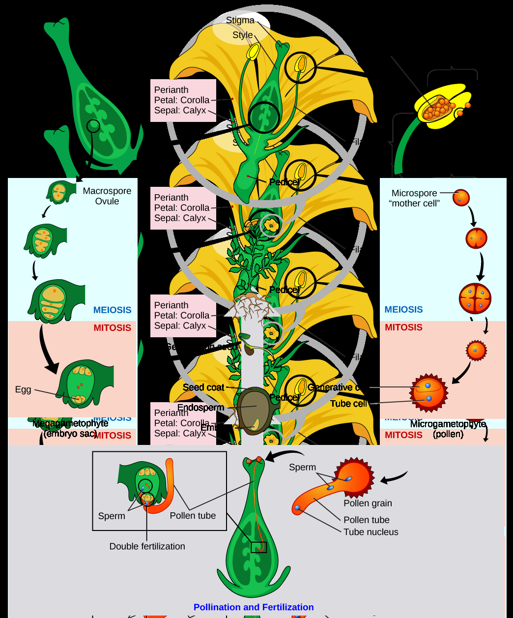 Illustration shows a tulip in cross section at the top of a clockwise circular series of images. An enlargement of the anther shows microsporangium inside. One microspore (the