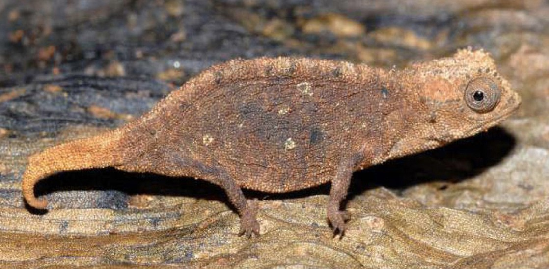 The photo shows a mottled brown chameleon that blends into the leaf it sits on.
