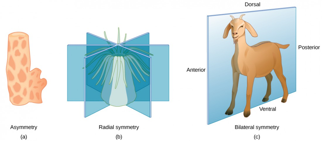 Illustration a shows an asymmetrical sponge with a tube-like body and a growth off to one side. Illustration b shows a sea anemone with a tube-like, radially symmetrical body. Tentacles grow from the top of the tube. Three vertical planes arranged 120 degrees apart dissect the body. The half of the body on one side of each plane is a mirror image of the body on the other side. Illustration c shows a goat with a bilaterally symmetrical body. A plane runs from front to back through the middle of the goat, dissecting the body into left and right halves, which are mirror images of each other. The top part of the goat is defined as dorsal, and the bottom part is defined as ventral. The front of the goat is defined as anterior, and the back is defined as posterior.