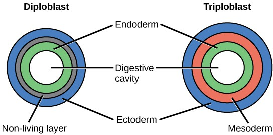 The left illustration shows the two embryonic germ layers of a diploblast. The inner layer is the endoderm, and the outer layer is the ectoderm. Sandwiched between the endoderm and the ectoderm is a non-living layer. The right illustration shows the three embryonic germ layers of a triploblast. Like the diploblast, the triploblast has an inner endoderm and an outer ectoderm. Sandwiched between these two layers is a living mesoderm.