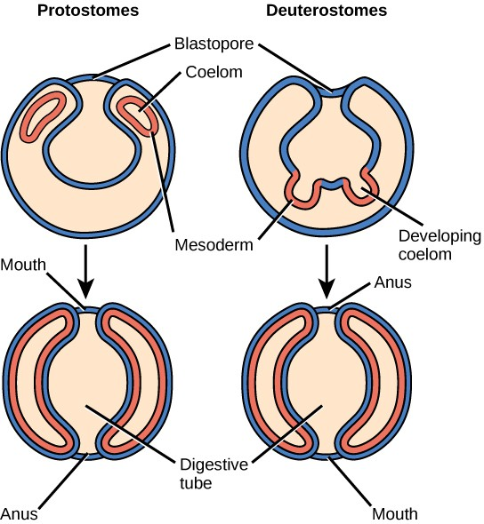 The illustration compares the development of protostomes and deuterostomes. In both protostomes and deuterostomes, the gastrula, which resembles a hollow ball of cells, contains an indentation called a blastopore. In protostomes, two circular layers of mesoderm form inside the gastrula, containing the coelom. As the protostome develops, the mesoderm grows and fuses with the gastrula cell layer. The blastopore becomes the mouth, and a second opening forms opposite the mouth, which becomes the anus. In deuterostomes, two groups of gastrula cells in the blastopore grow inward to form the mesoderm. As the deuterostome develops, the mesoderm pinches off and fuses, forming a second body cavity. The body plan of the deuterostome at this stage looks very similar to that of the protostome, but the blastopore becomes the anus, and the second opening becomes the mouth.