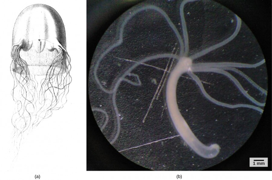 Part a shows an illustration of a Chirodropus gorilla box jellyfish. It has a tall, square dome with four pedalia, clusters of tentacles hanging down, and a delicate skirt inside. Part b is a light microscopy photo of a hydra, which is a long tubular stalk with eight long, thin, radially arranged tentacles at one end.