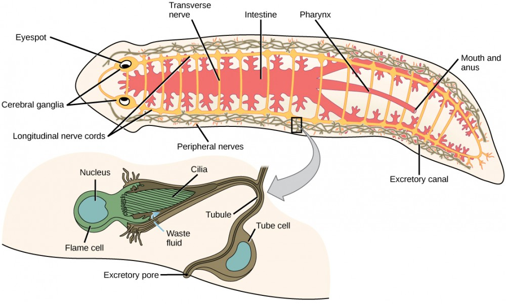 The illustration shows the digestive, nervous, and excretory systems in a flat, worm-like Planaria. The digestive system starts at the ventral mouth opening in the middle of the animal, and then extends to the head and tail with many lateral branches. The nervous system has two cerebral ganglia at the eyes in the head, and two longitudinal nerve cords with transverse connections along the length of the body to the tail. The excretory system is arranged in two long mesh-like structures down each side of the body. An enlargement shows a detailed flame cell, which has a bundle of cilia at one end. The cilia extend down into an excretory tube, which has slits near the cilia to allow waste fluid to enter the excretory tube and exit the animal at the excretory pore.