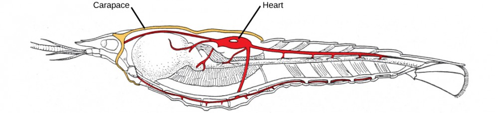 An illustration of a midsagittal cross-section of a crayfish shows the carapace around the cephalothorax and the heart in the dorsal thorax area.