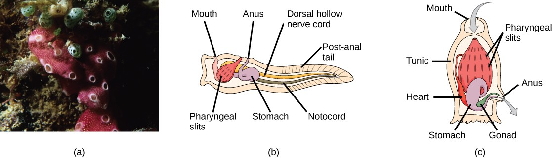 Photo a shows tunicates, which are sponge-like in appearance and have a few holes along the surface. Illustration b shows the tunicate larval stage, which resembles a tadpole, with a post-anal tail at the narrow end. A dorsal hollow nerve cord runs along the upper back, and a notochord runs beneath the nerve cord. The digestive tract starts with the mouth at the front of the animal connected to a stomach. Above the stomach is the anus. The pharyngeal slits, which are located between the stomach and mouth, are connected to an atrial opening at the top of the body. Illustration c shows an adult tunicate, which resembles a tree stump anchored to the bottom. Water enters through the mouth at the top of the body and passes through the pharyngeal slits, where it is filtered. Water then exits through another opening at the side of the body. The heart, stomach, and gonad are tucked beneath the pharyngeal slits.