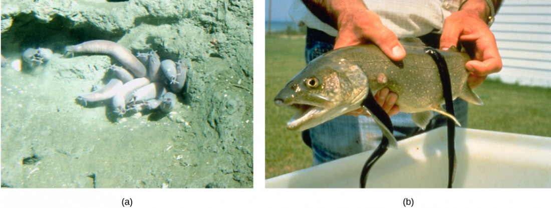 Photo a shows wormlike hagfish clustered in a muddy hole. Photo b shows leech-like sea lampreys latched onto a large fish.