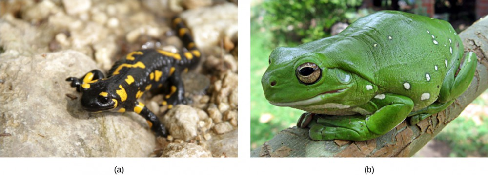 Photo a shows a black salamander with bright yellow spots. Photo b shows a big, bright green frog sitting on a branch.