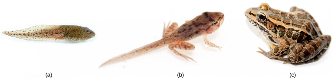 A series of three photos show the metamorphosis from (a) tadpole to (b) juvenile frog with four legs and a tail to (c) an adult frog.