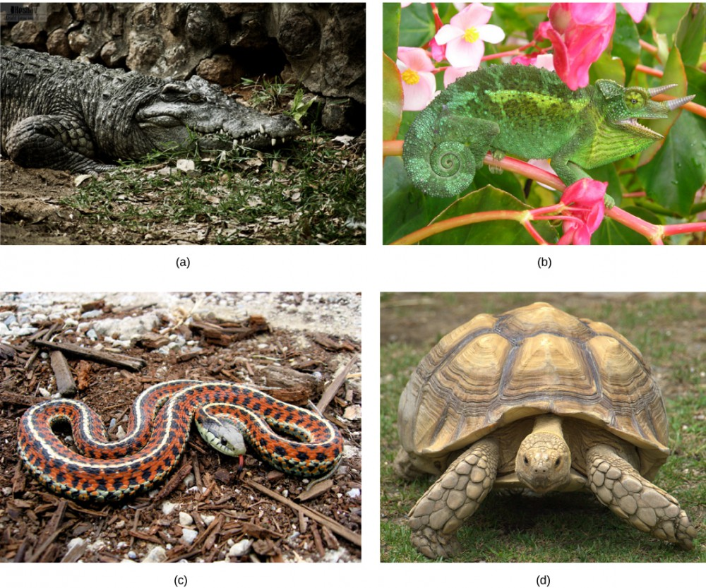 Photo a shows a crocodile sitting in the mud. Photo b shows a green lizard with its tail curled like a snail shell. The lizard has two horns and matches the leaves of the plant on which it sits. Photo c shows a snake with orange and black bands and white stripes. Photo d shows a very large tortoise.
