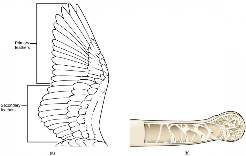 Illustration a shows a bird's wing, which has two sections of flight feathers, the long primary feathers toward the tip of the wing and the secondary feathers closer to the body. Illustration b shows a hollow bone with structural supports providing reinforcement.