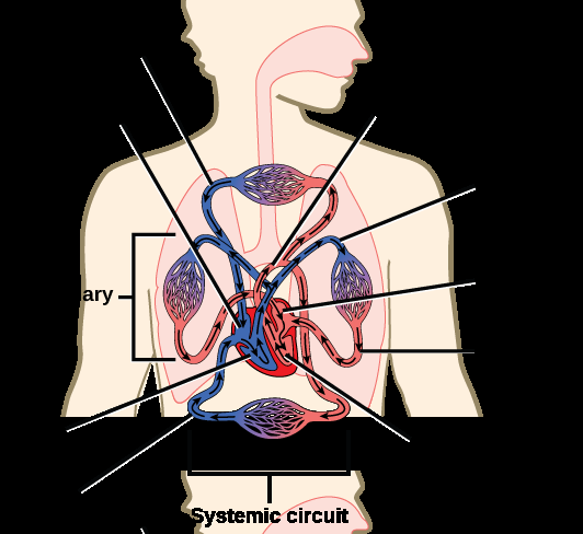 Illustration shows blood circulation through the mammalian systemic and pulmonary circuits. Blood enters the left atrium, the upper left chamber of the heart, through veins of the systemic circuit. The major vein that feeds the heart from the upper body is the superior vena cava, and the major vein that feeds the heart from the lower body is the inferior vena cava. From the left atrium blood travels down to the left ventricle, then up to the pulmonary artery. From the pulmonary artery blood enters capillaries of the lung. Blood is then collected by the pulmonary vein, and re-enters the heart through the upper left chamber of the heart, the left atrium. Blood travels down to the left ventricle, then re-enters the systemic circuit through the aorta, which exits through the top of the heart. Blood enters tissues of the body through capillaries of the systemic circuit.