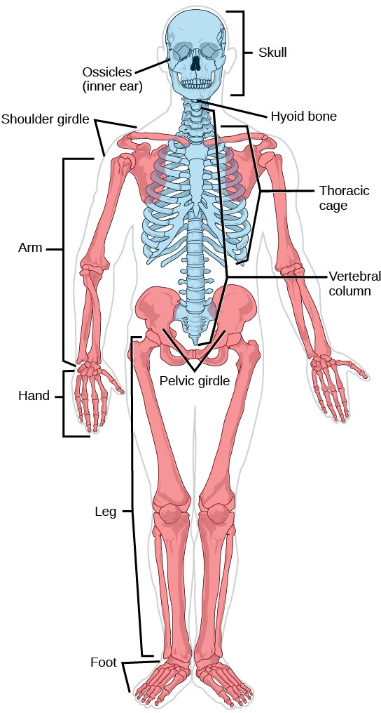 On a human skeleton, the parts of the axial skeleton are highlighted in blue. The appendicular skeleton, which consists of arms, legs, shoulder bones, and the pelvic girdle, is highlighted in red.