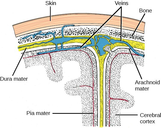 Illustration shows the three meninges that protect the brain. The outermost layer, just beneath the skull, is the dura mater. The dura mater is the thickest meninx, and blood vessels run through it. Beneath the dura mater is the arachnoid mater, and beneath this is the pia mater.