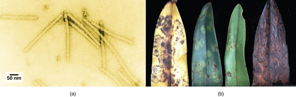 In A, an electron micrograph shows the tobacco mosaic virus, which is shaped like a long, thin rectangle. Photo B shows an orchid leaf in varying states of decay. Initial symptoms are yellow and brown spots. Eventually, the entire leaf turns yellow with brown blotches, then completely brown.